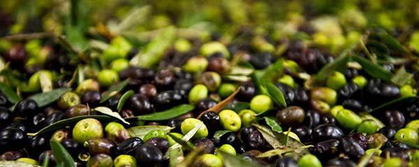 Olio d'oliva Olio Extra vergine d'oliva Frantoio Archibusacci Olio di Canino DOP Canino